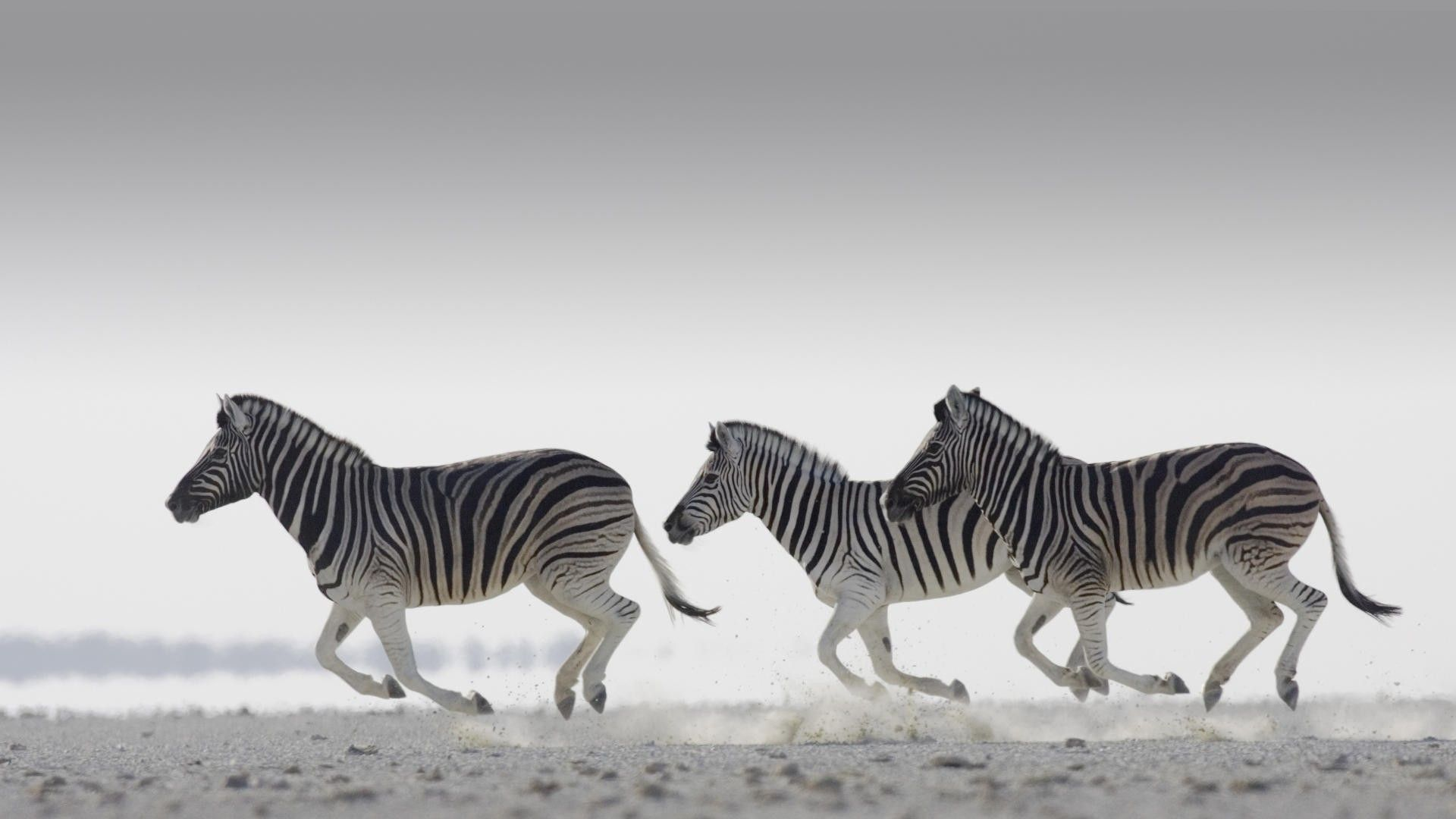 Running Zebra Pictures
