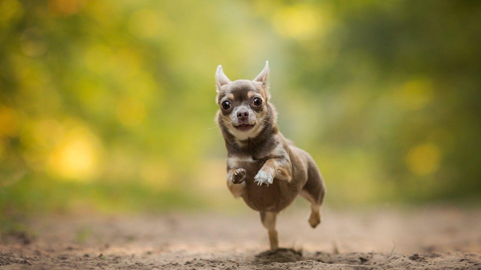 Running An Evil Chihuahua