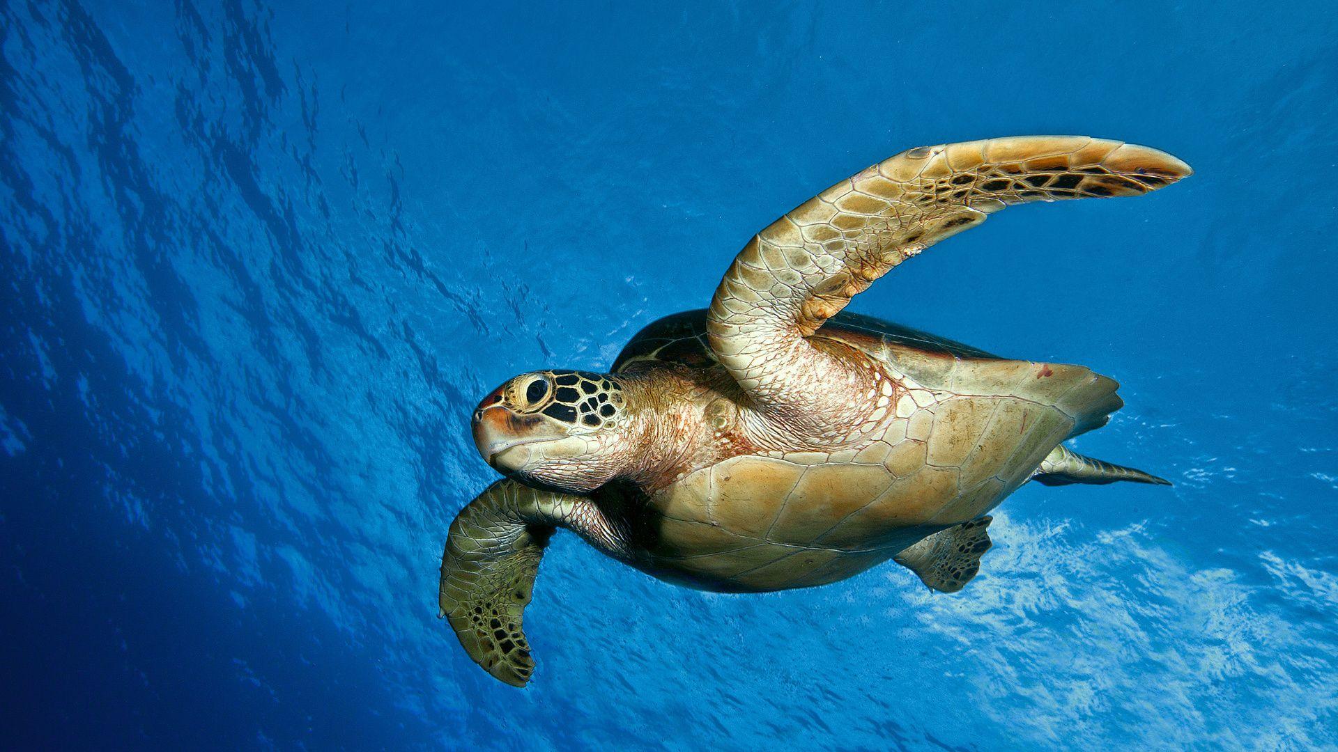 Sea Turtle Wallpaper Hd