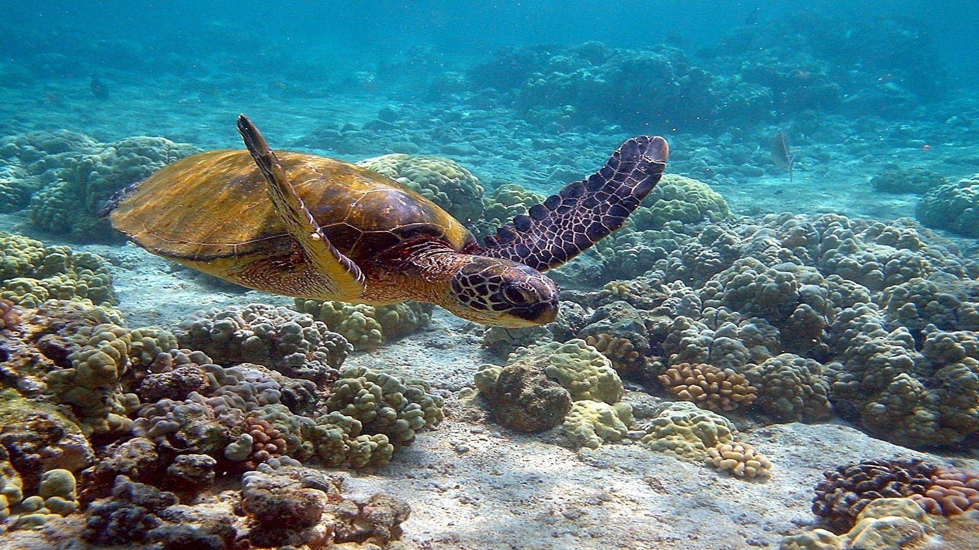 Sea Turtles In The Sea