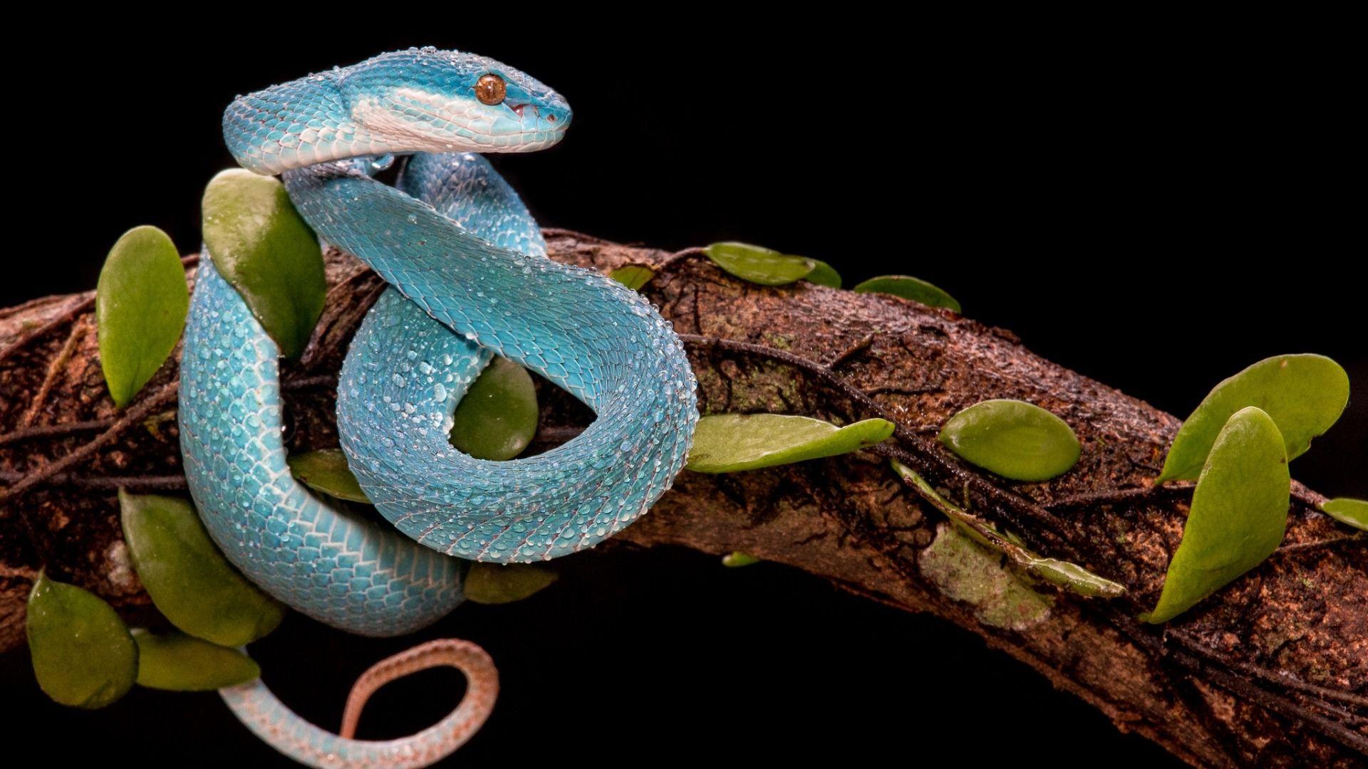 Snake Balogova Keffiyeh