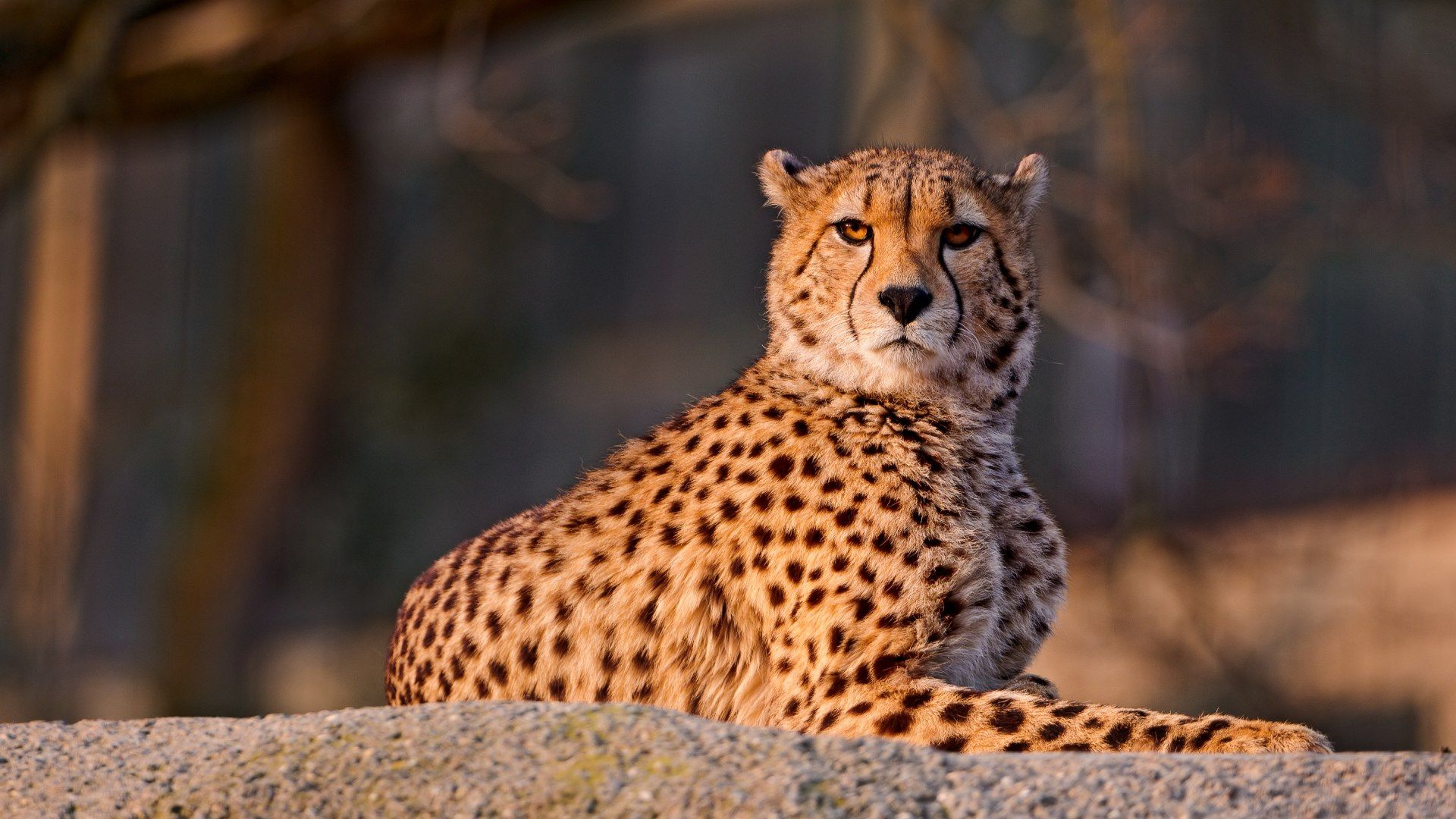 Spotted Cheetah