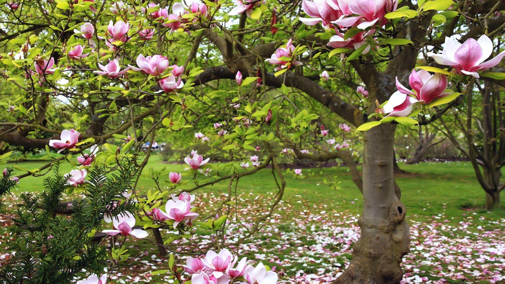 Spring Magnolia Tree 3