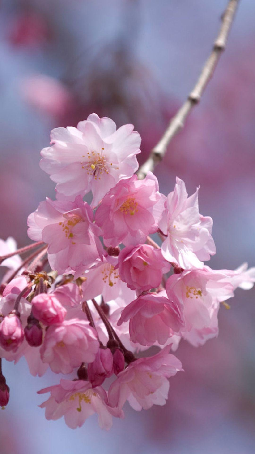 Spring Wallpapers Images Of Sakura