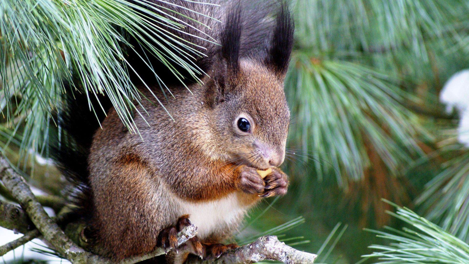 Squirrel On A Pine Tree