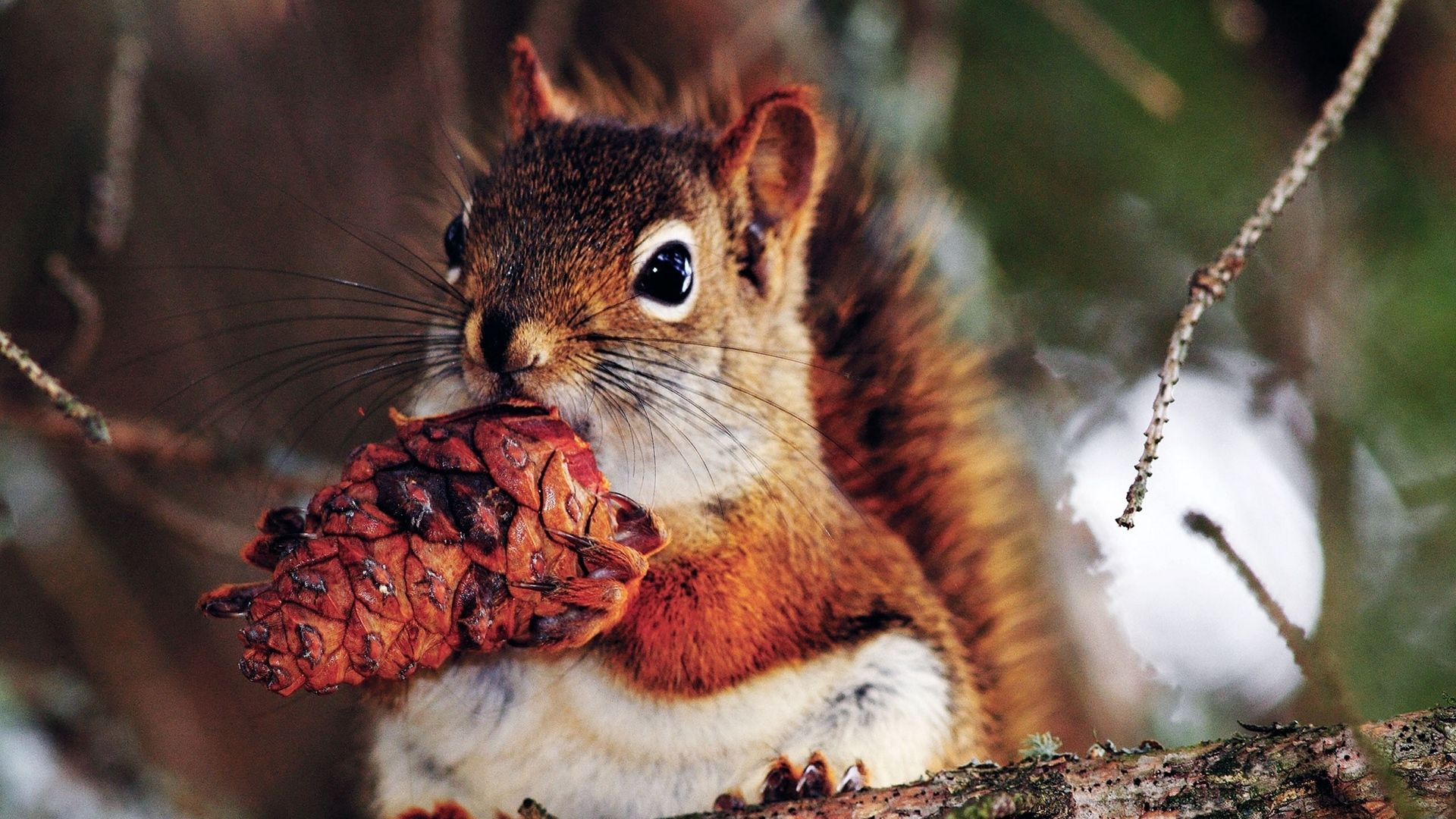 Squirrel With Cone