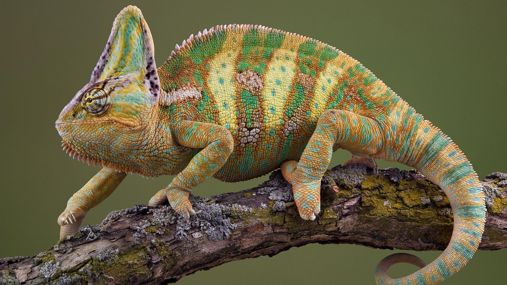 Striped Chameleon