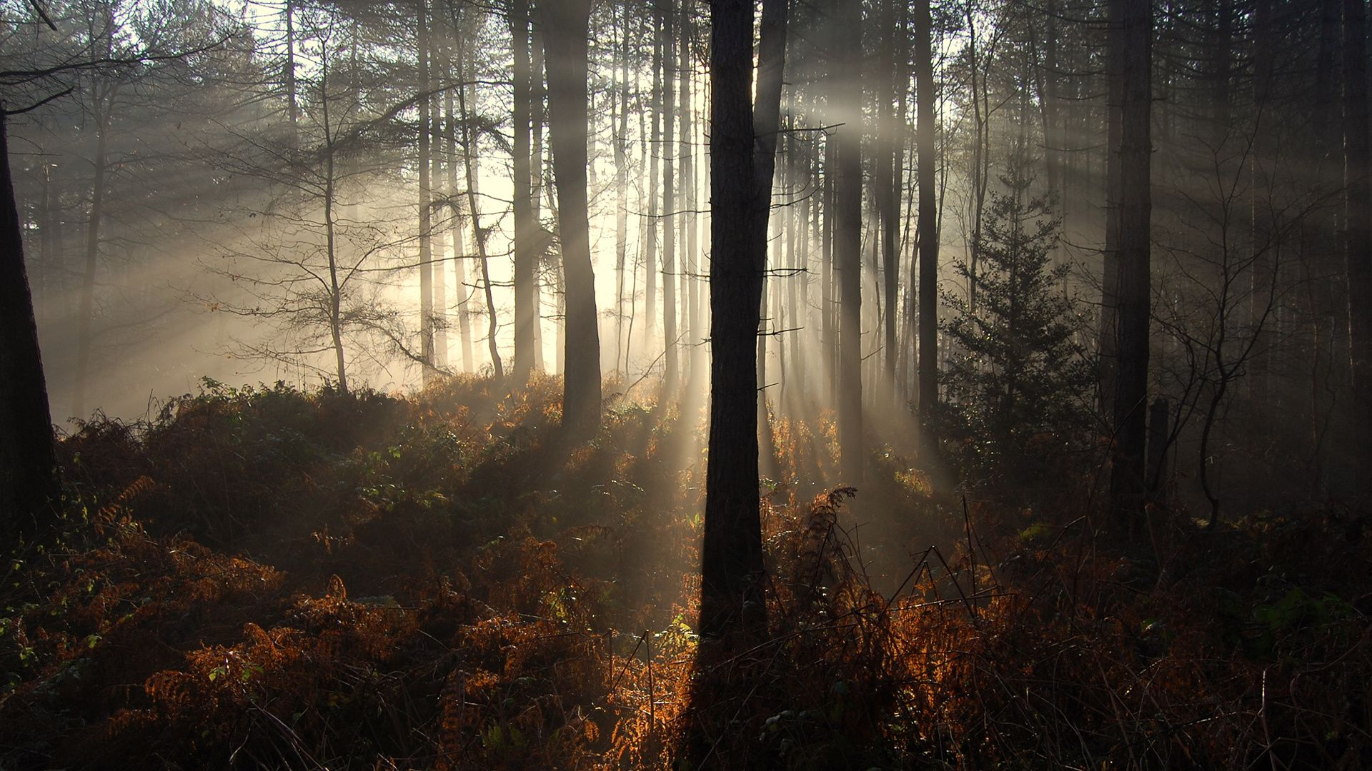 Sun Rays In A Forest Pictures