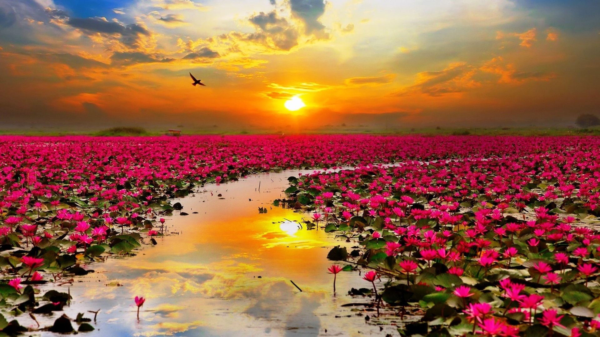 Sunset Over Lake Of Lotuses Pictures