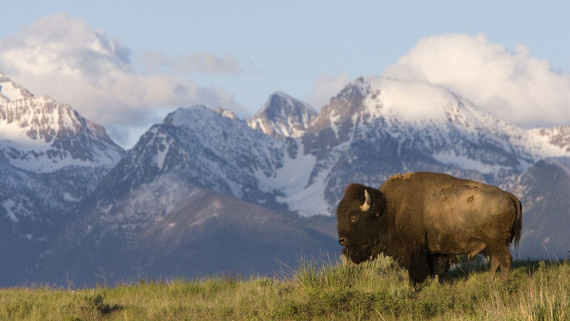 The Caucasian Bison Wallpaper