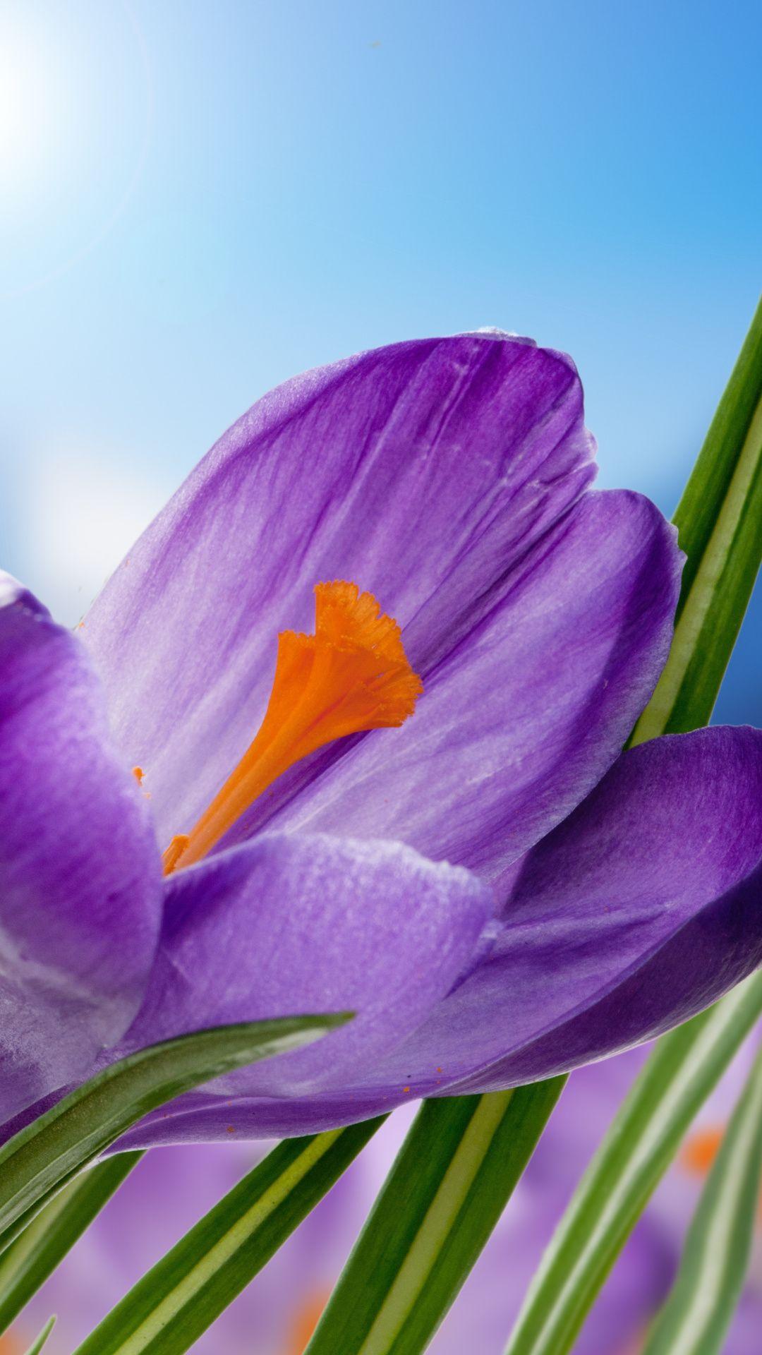 The Crocus Flower