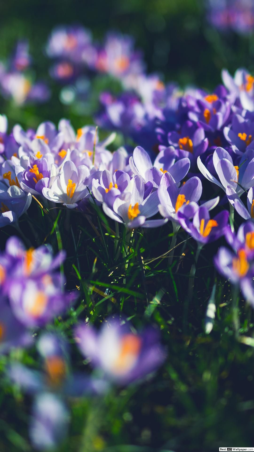 The Crocus Pictures Are Beautiful
