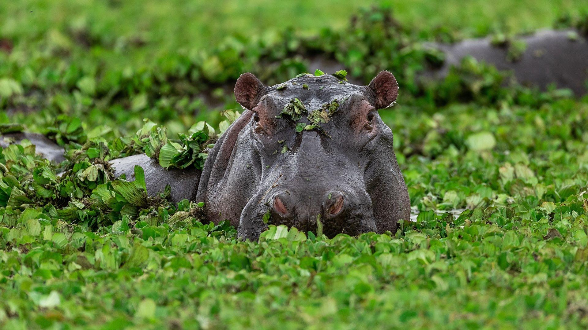 The Hippo Swamp