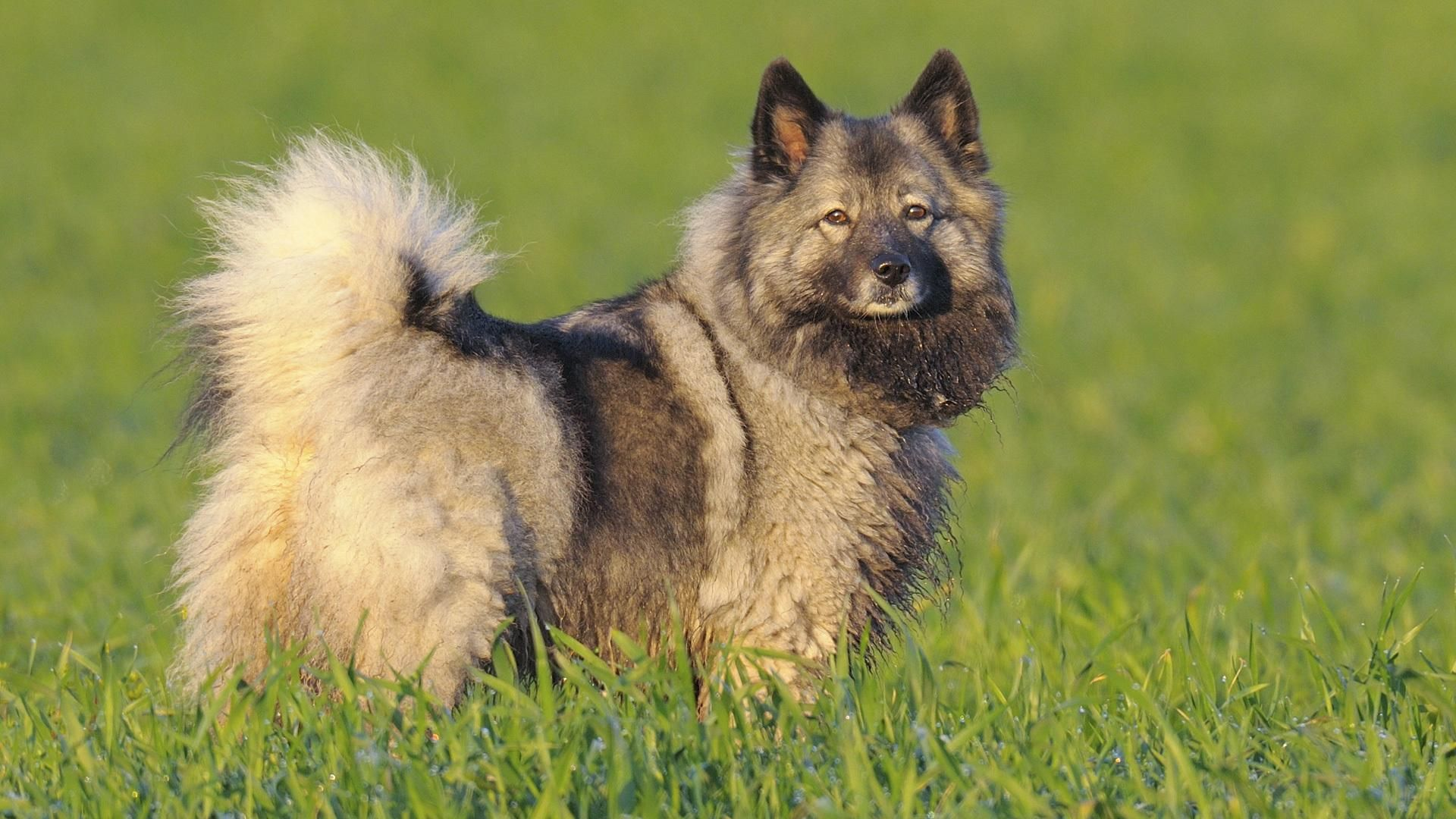 The Keeshond