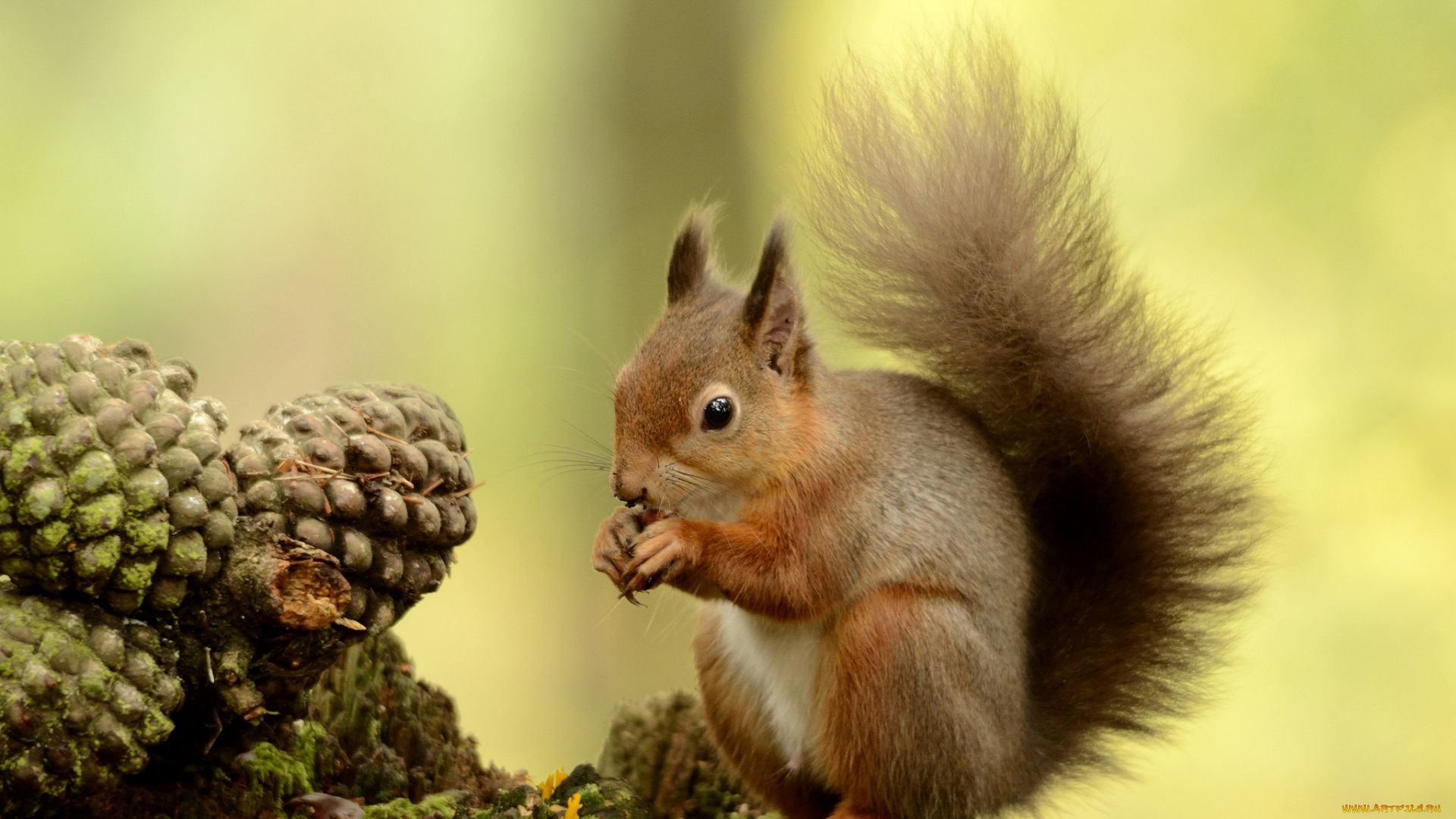 The Teleut Squirrel Photo
