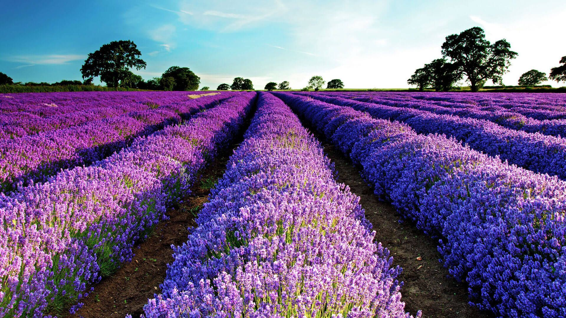 The Wallpaper Of Lavender Field