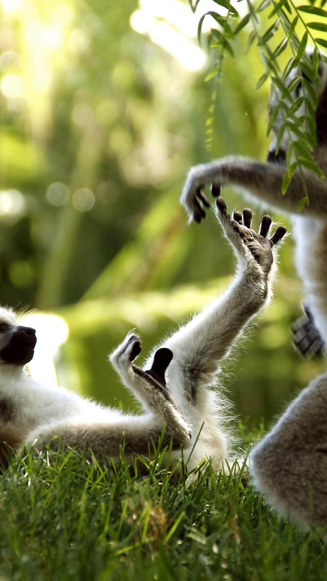 The Wallpaper Of Lemur