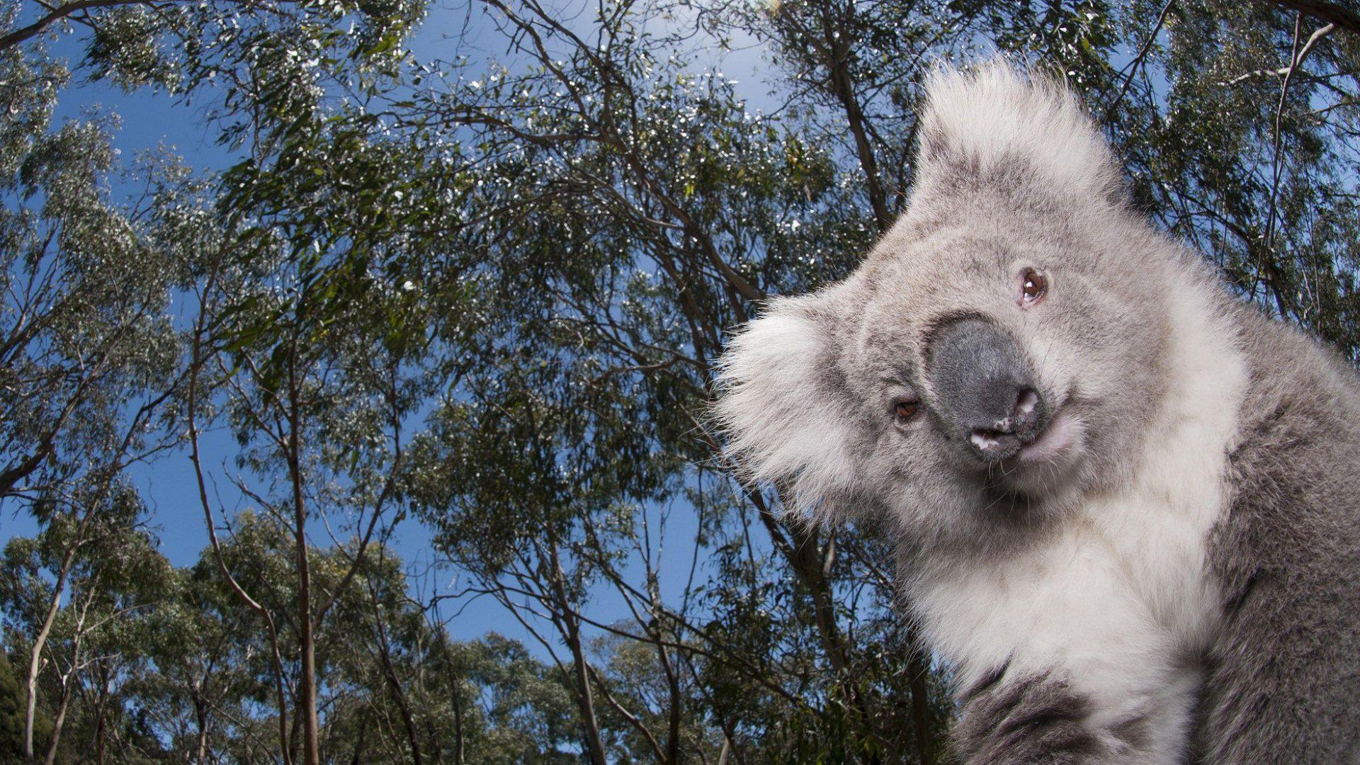 The Wallpapers Koala