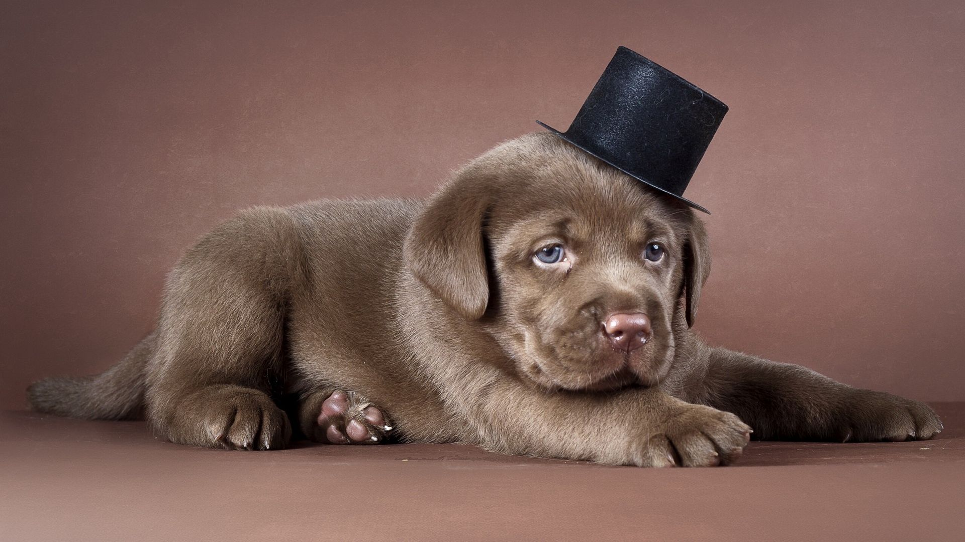 The Wallpapers Labrador Puppies