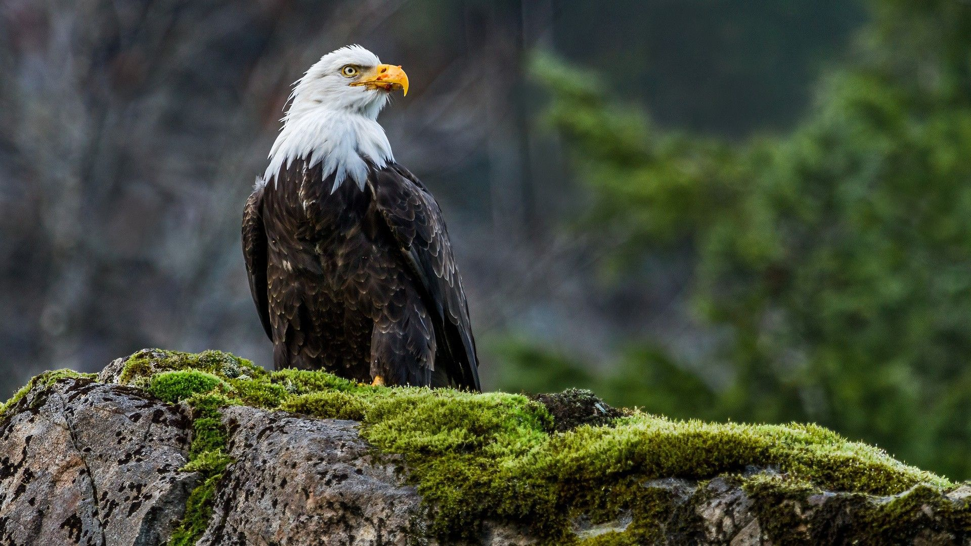 The Wallpapers Eagle