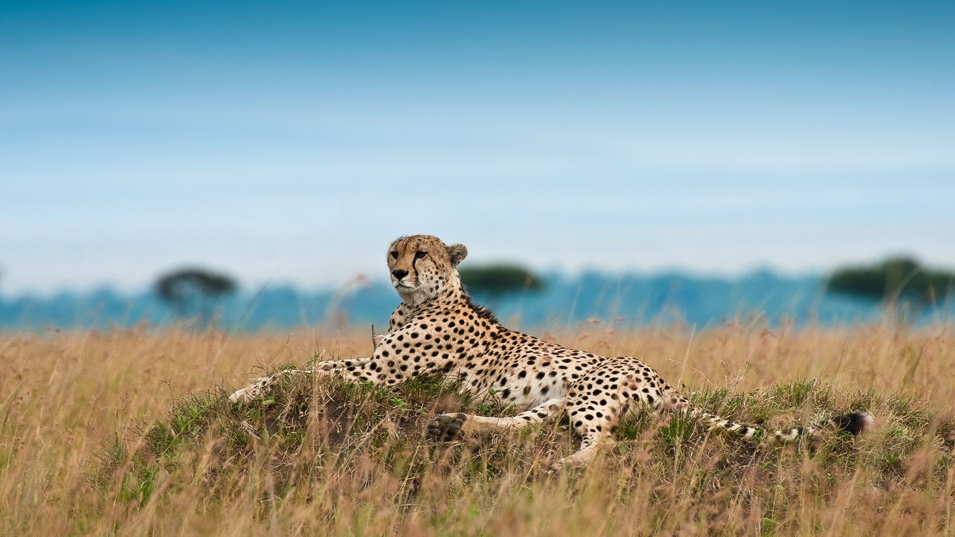 The Wallpapers Of Cheetah