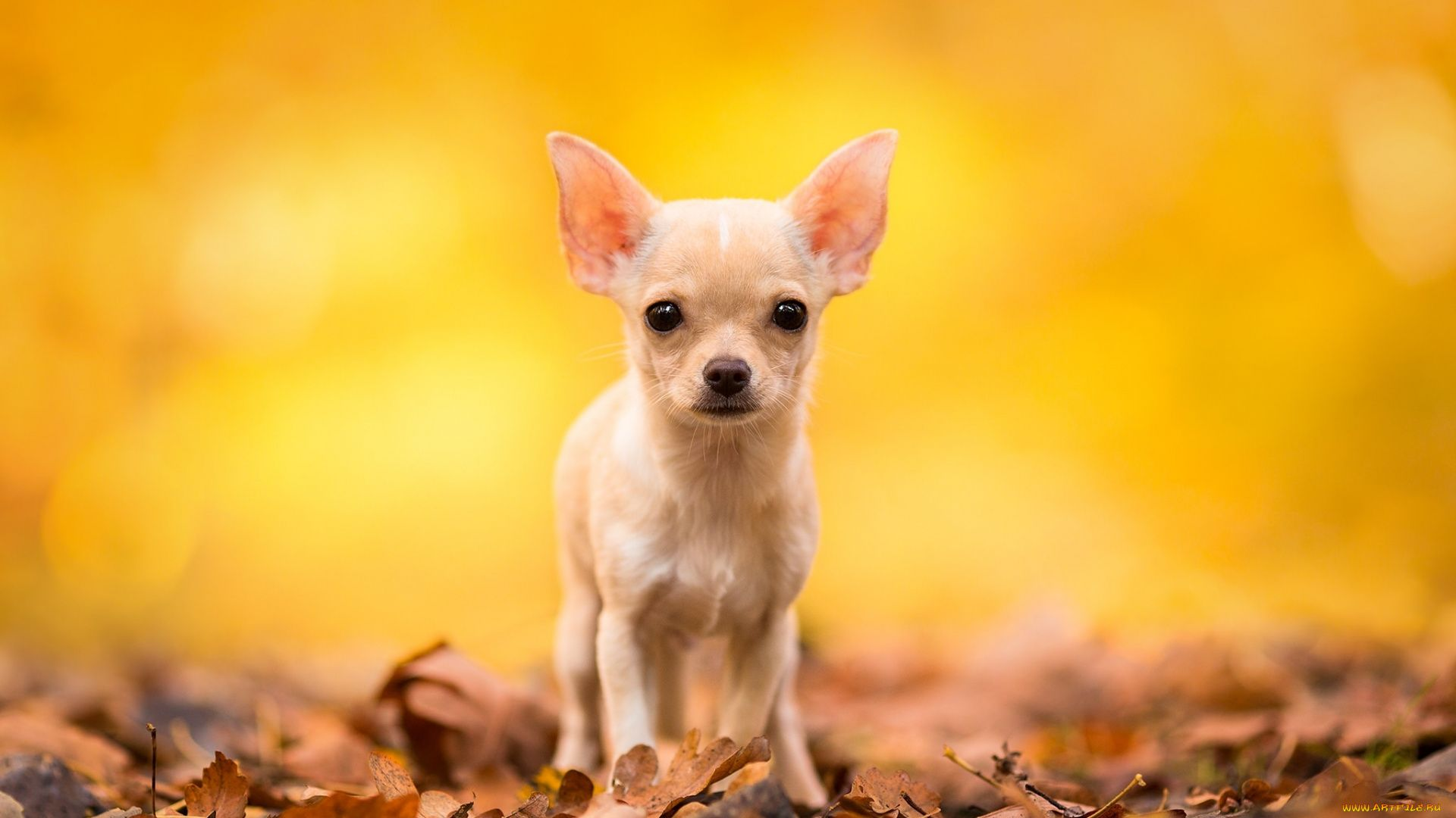 The Wallpapers Of Chihuahuas