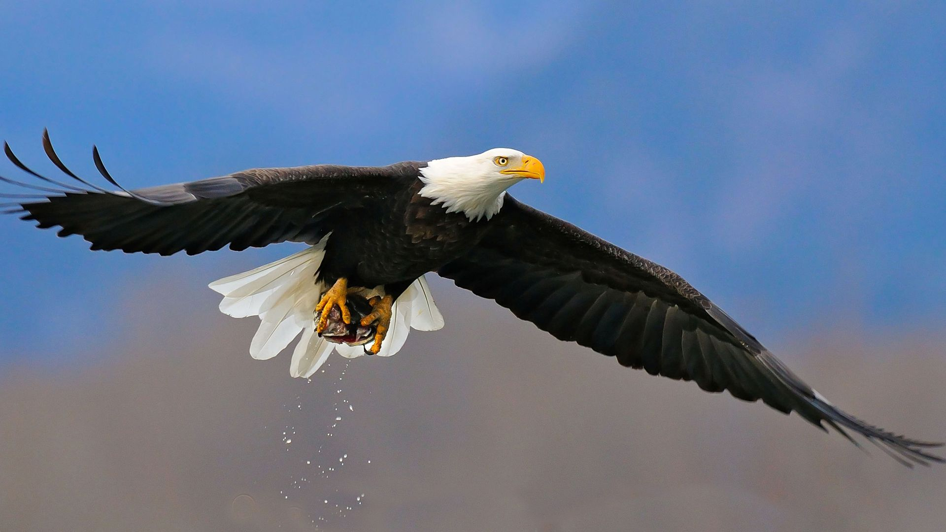 The Wallpapers Of Eagle In Flight