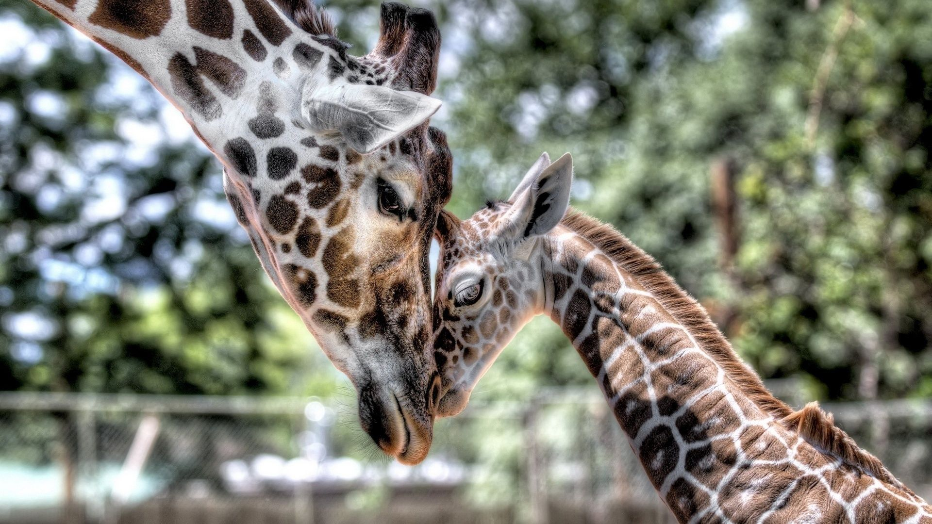 The Wallpapers Of Giraffes