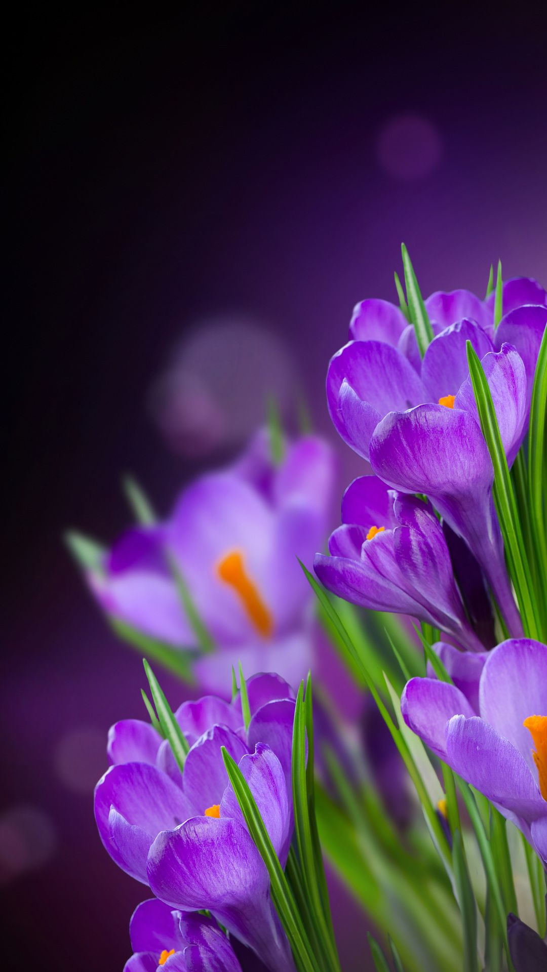 The Wallpapers Of Spring Crocuses