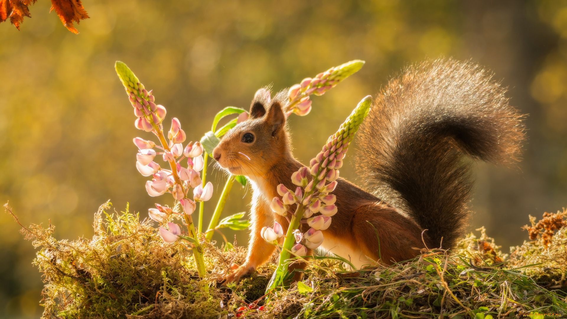 The Wallpapers Of Squirrel