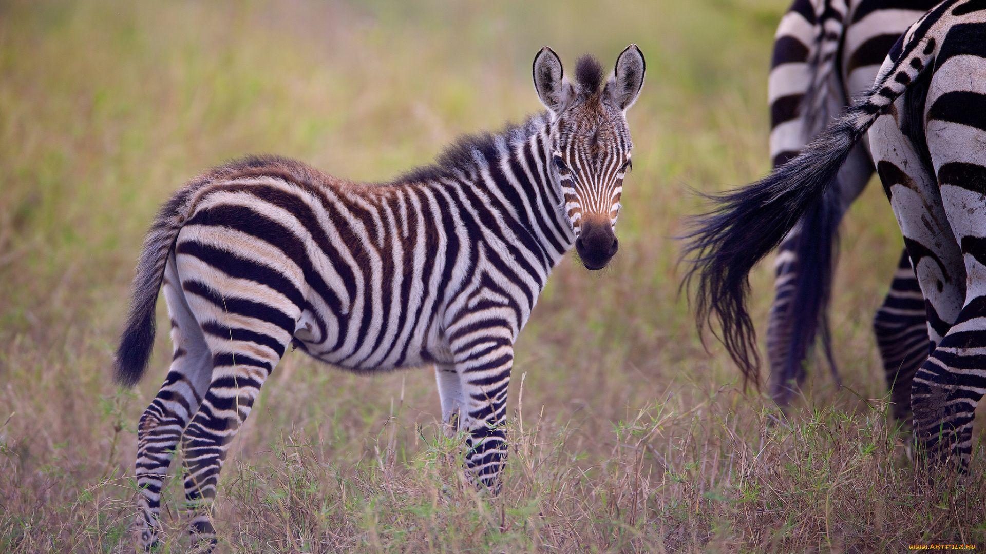 The Zebra Foal