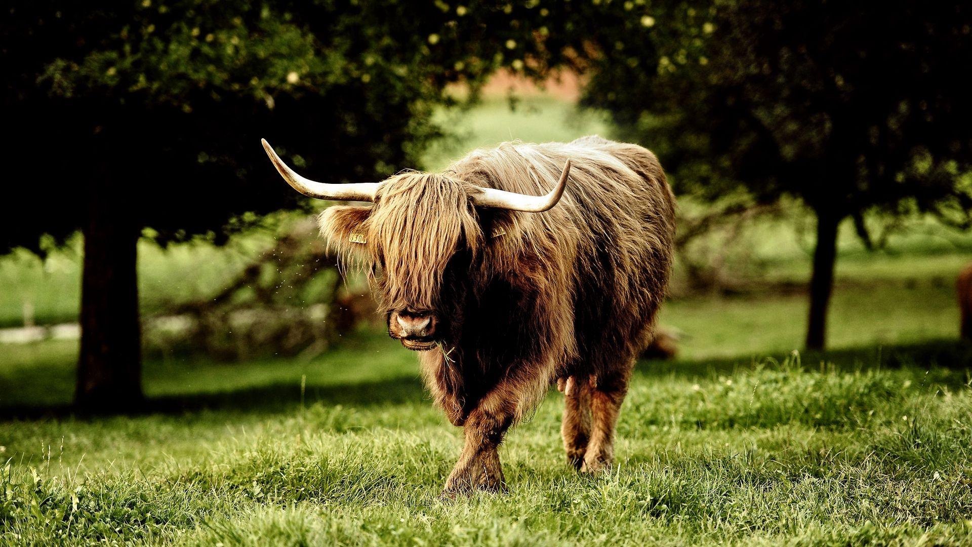 The Animal Yak And Buffalo
