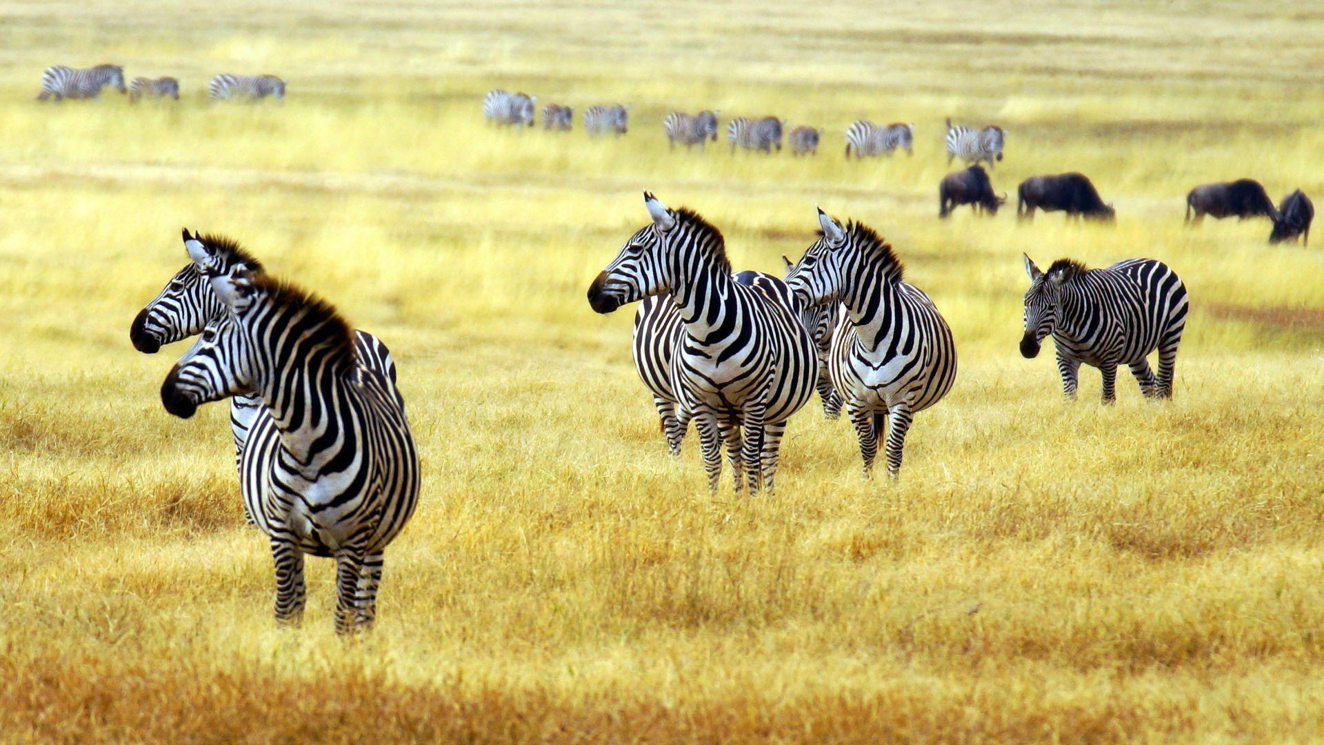 The Animals Of The Savannah Zebra