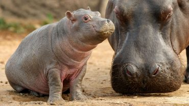 The Baby Hippo