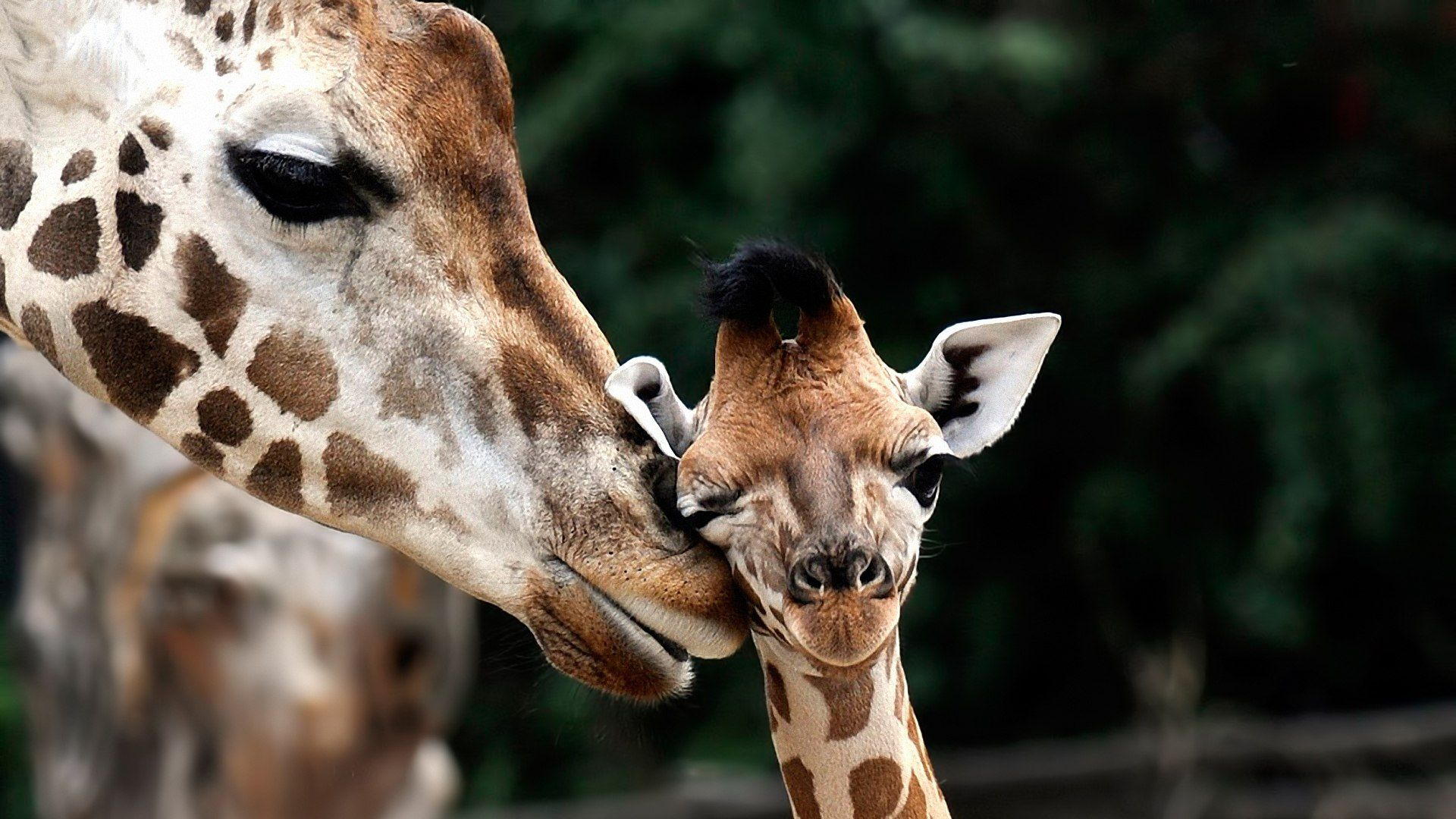 The Baby Giraffe