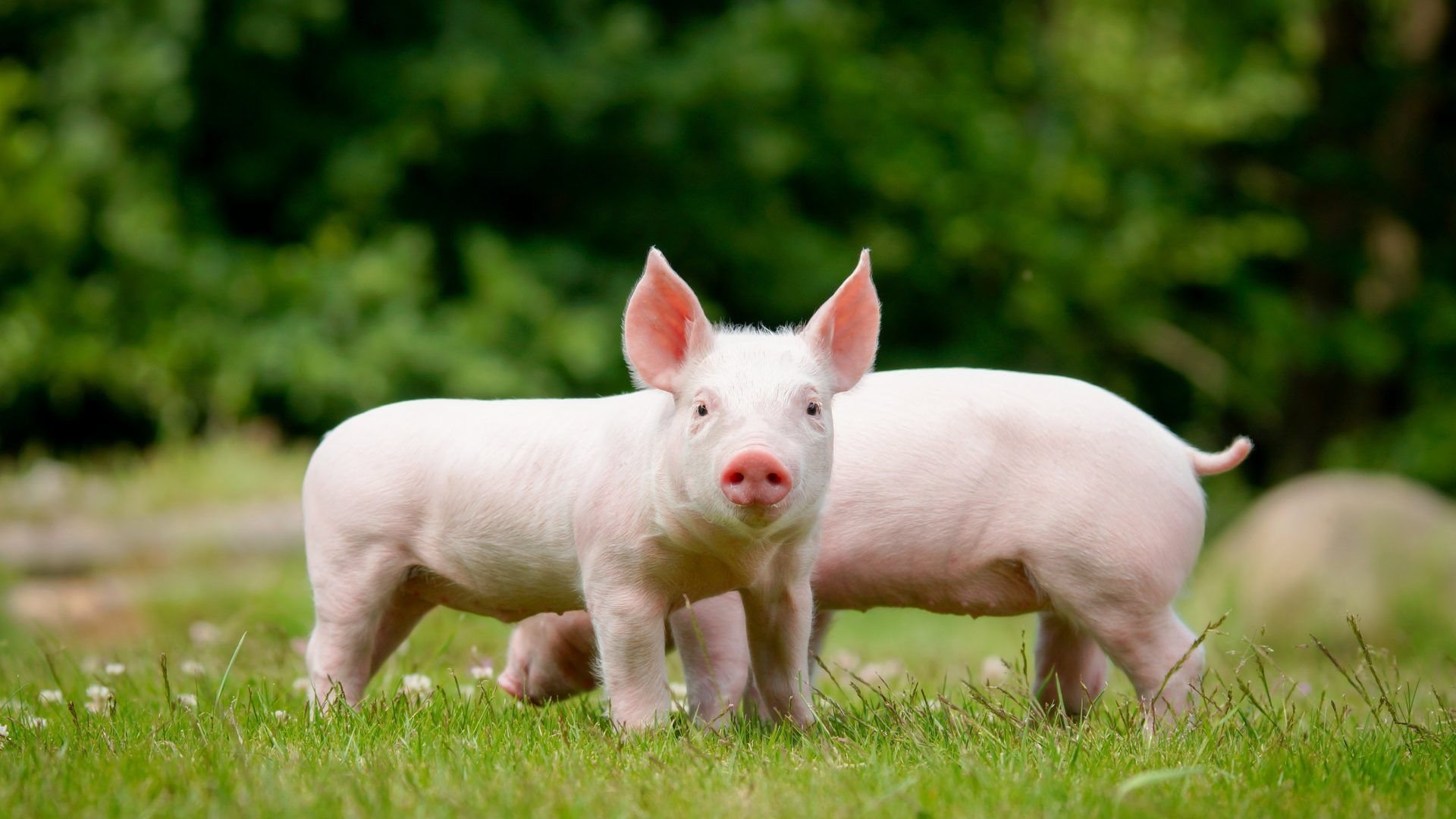 The Baby Pigs