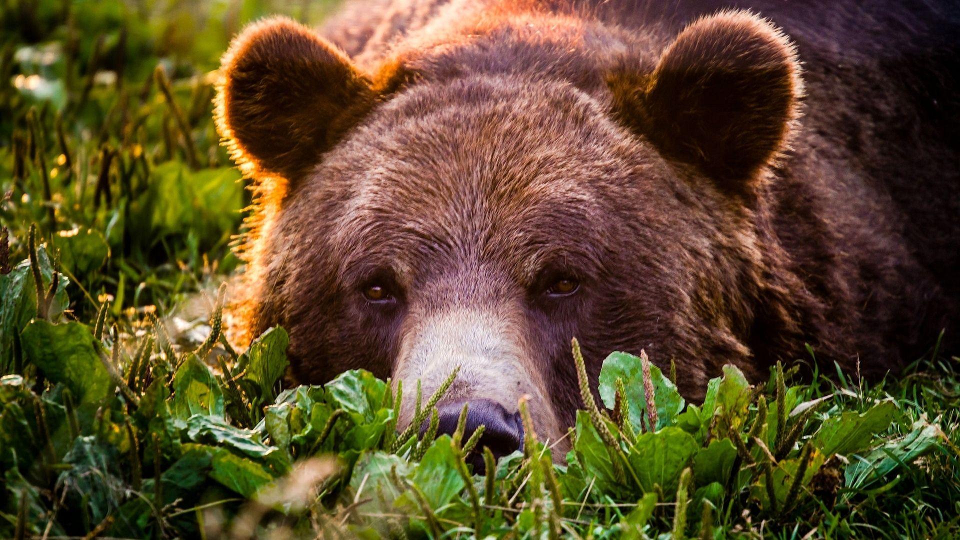 The Bear Eats The Berries Photo