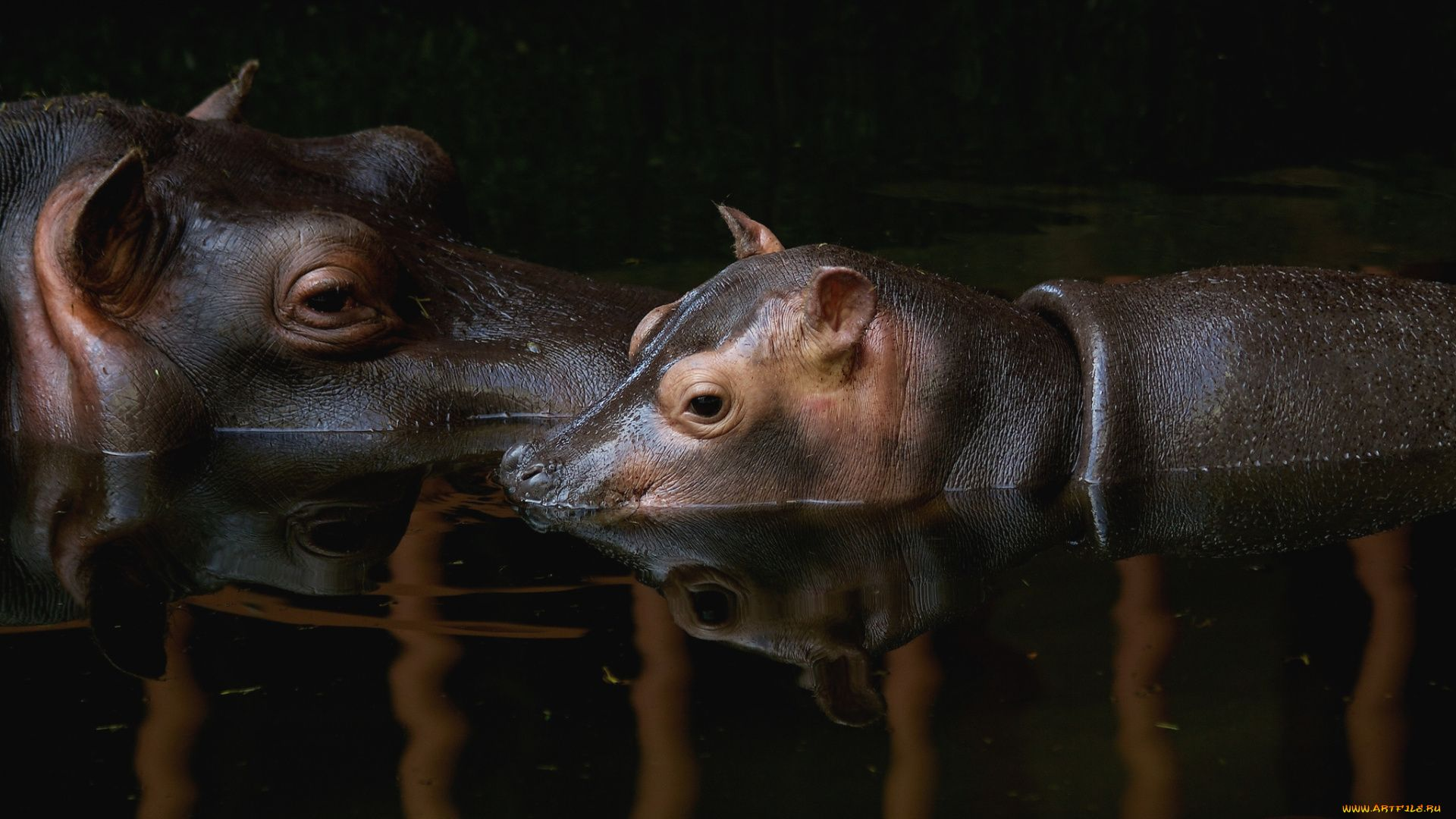 The Ears Of The Hippo Photo