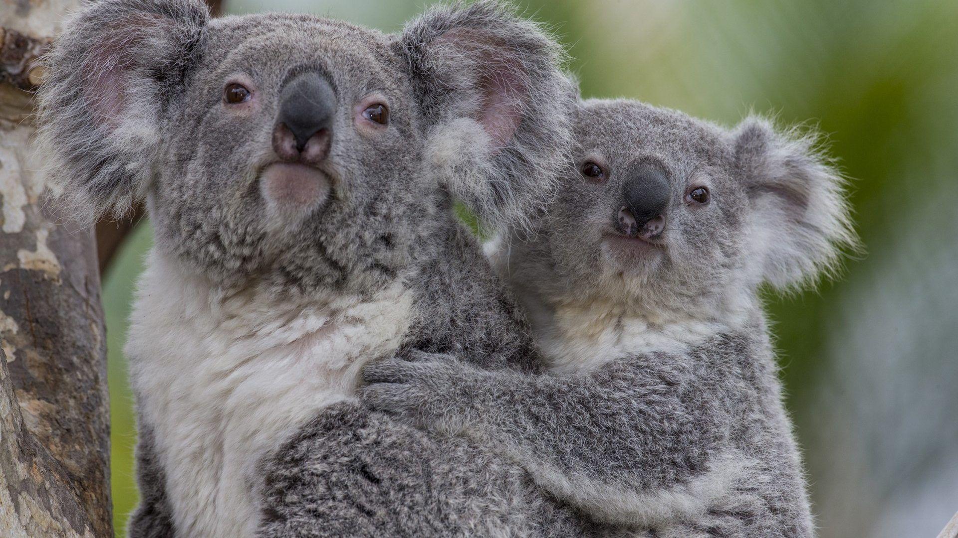 The Family Of Koalas