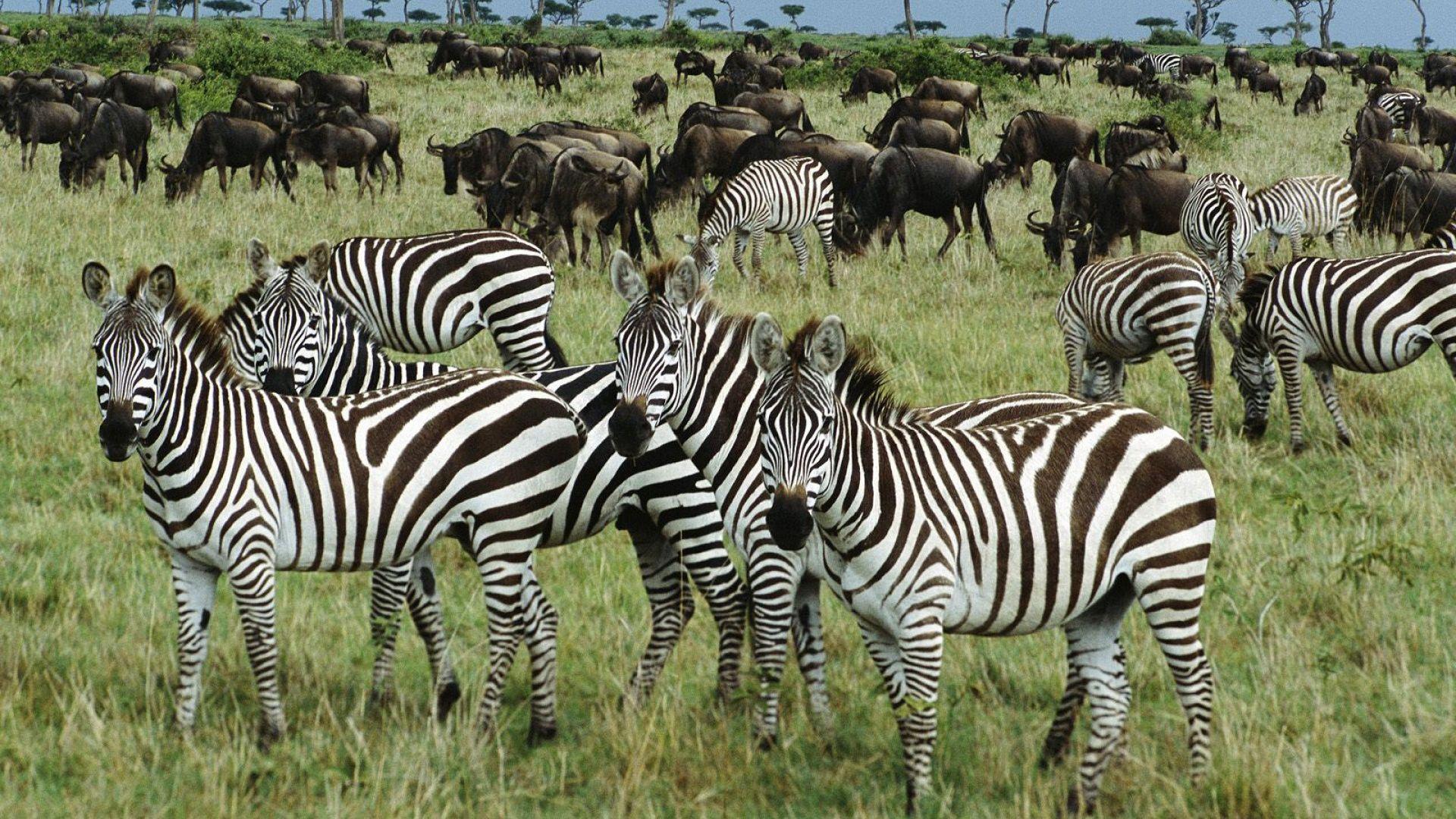 The Fauna Of Africa Zebra