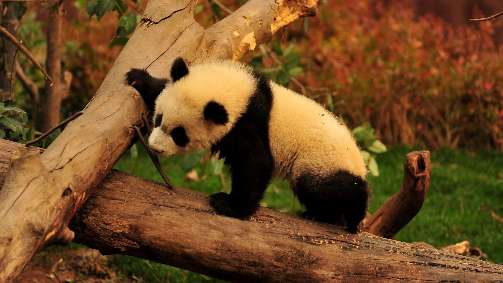 The Giant Panda Pictures