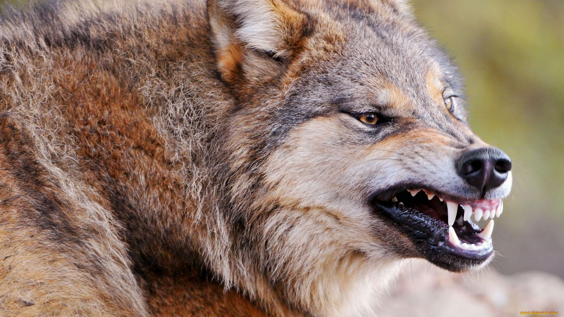 The Grin Of A Wolf Pictures