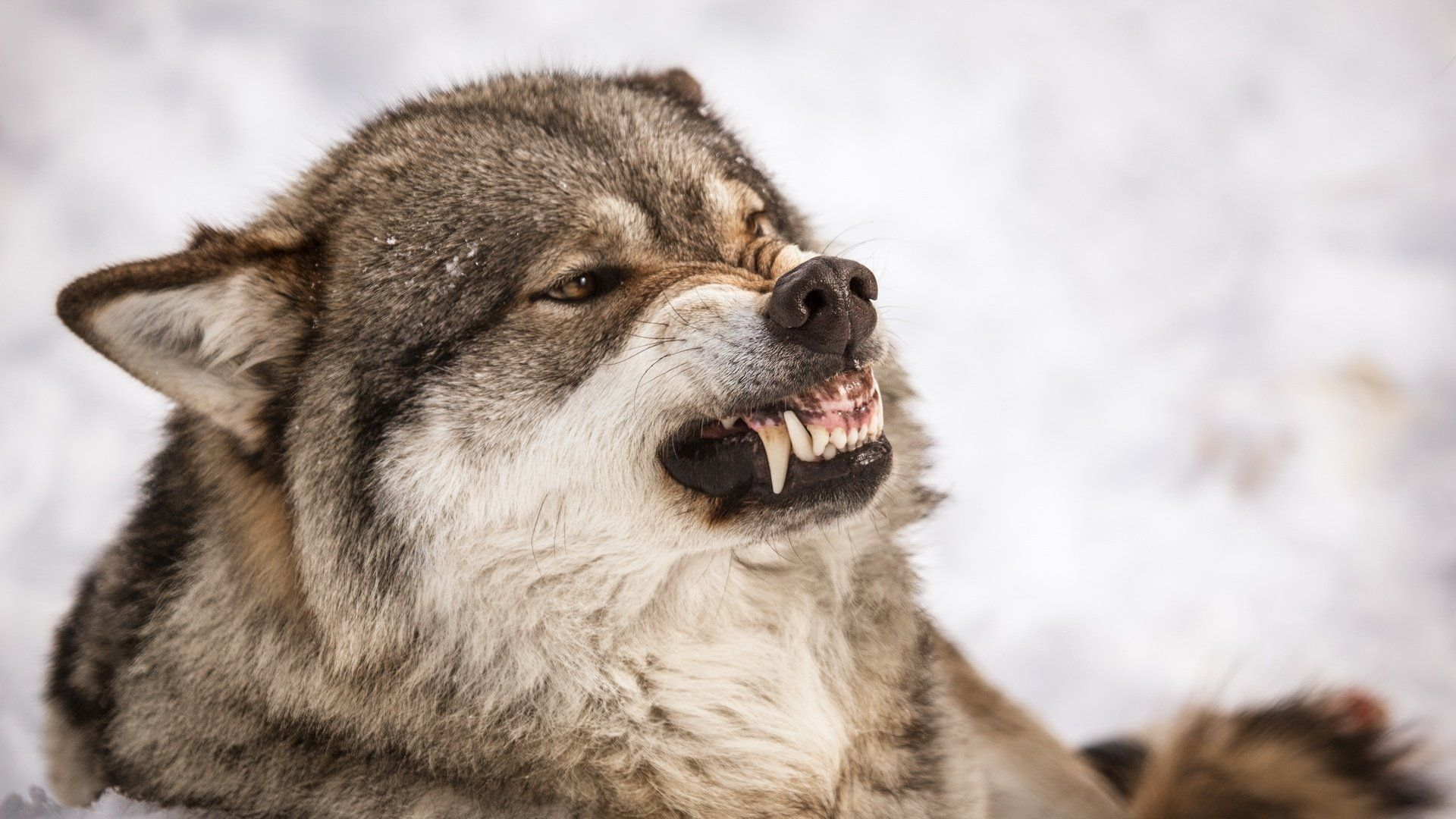 The Grin Of A Wolf