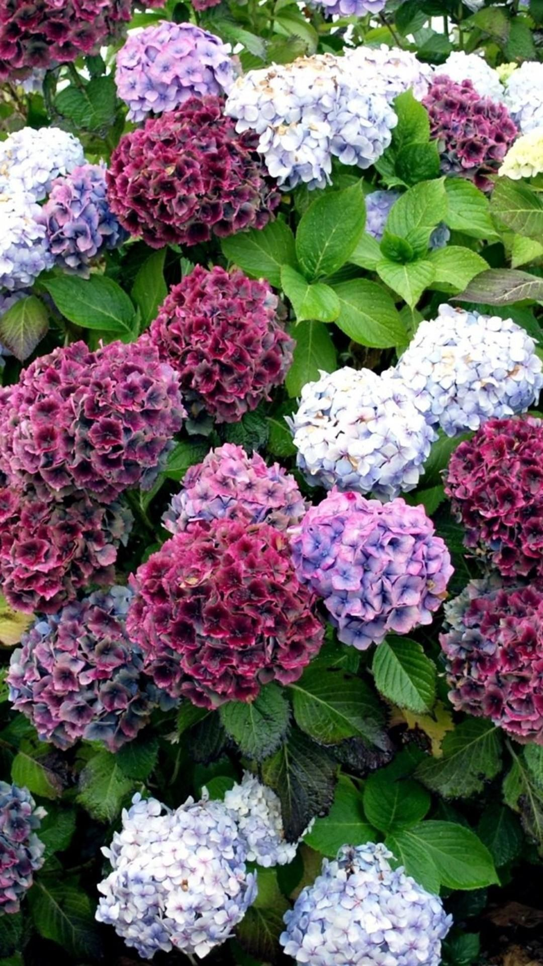 The Hydrangea Colored Picture Of Beautiful