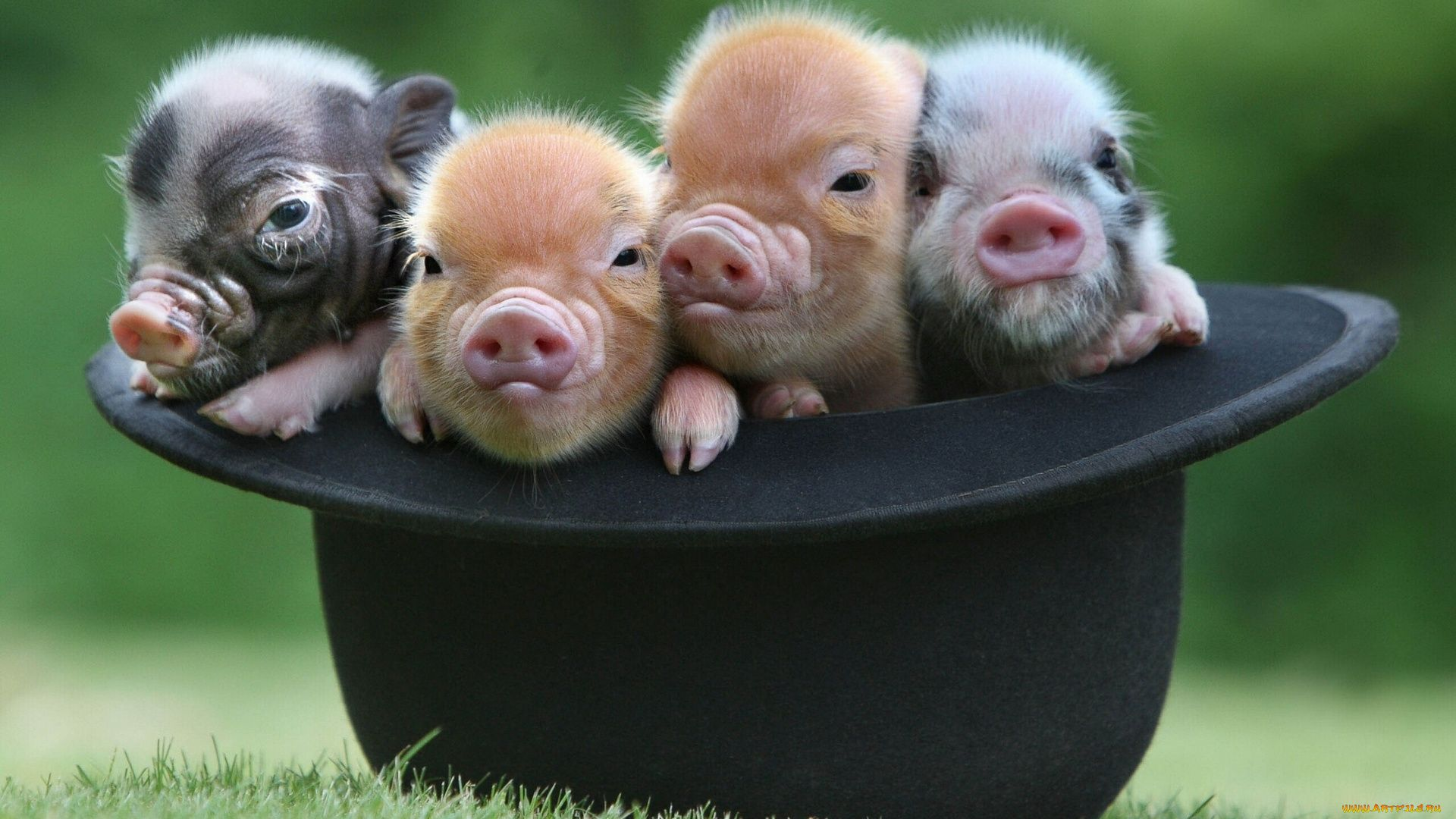 The Minipig Photo