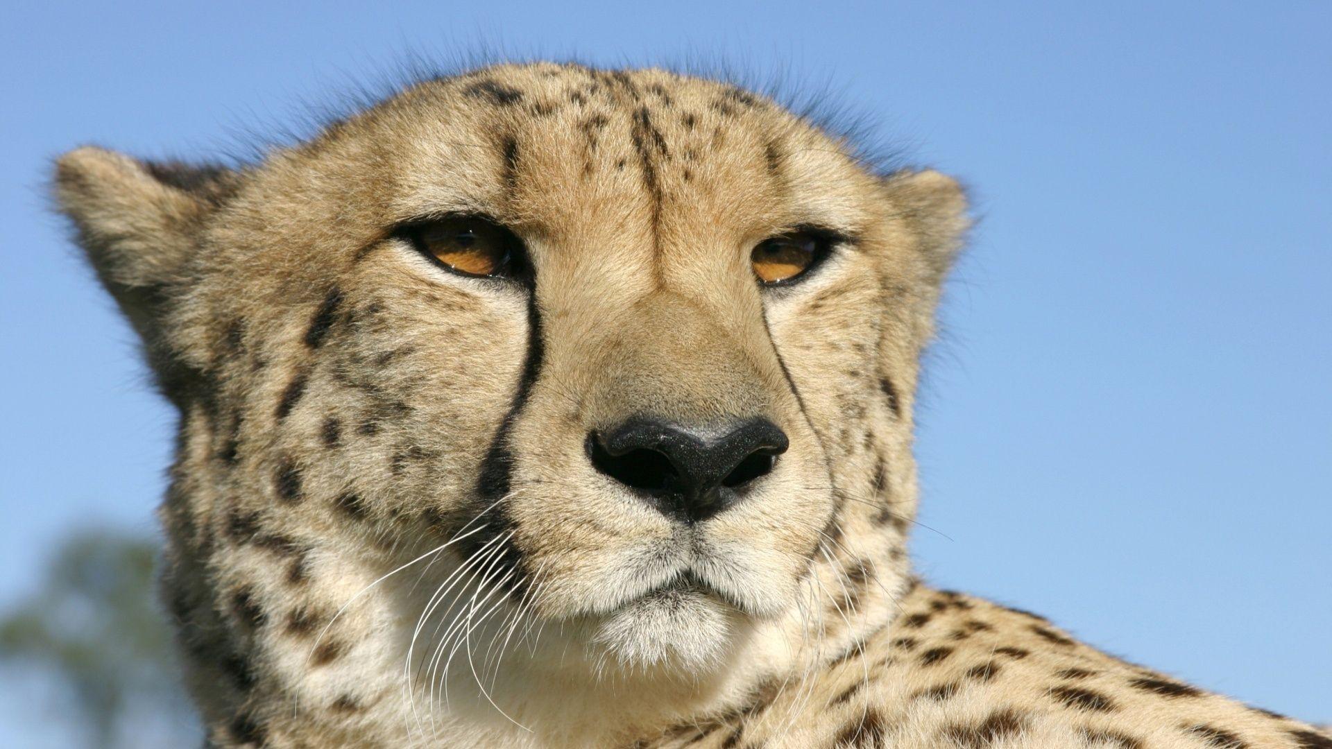 The Muzzle Of A Cheetah Photo