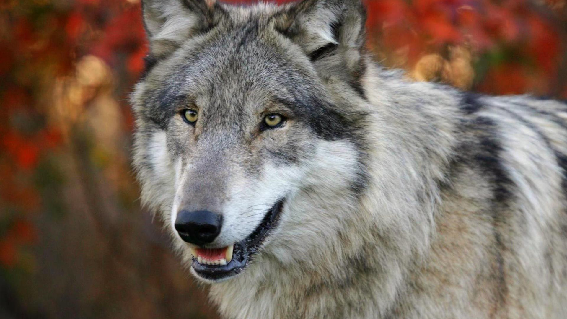 The Muzzle Of A Wolf