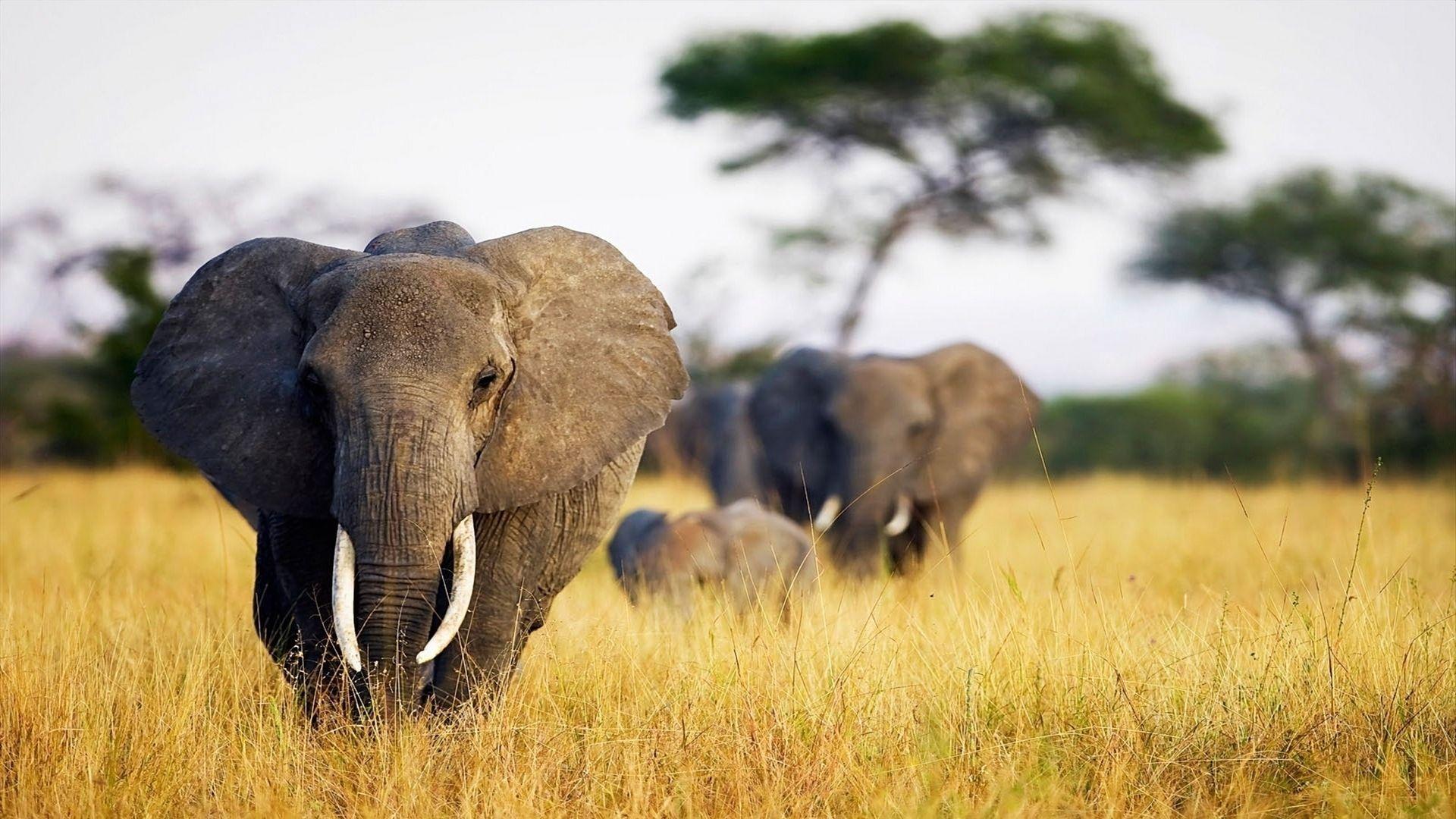 The Nature Of Savanna Elephants