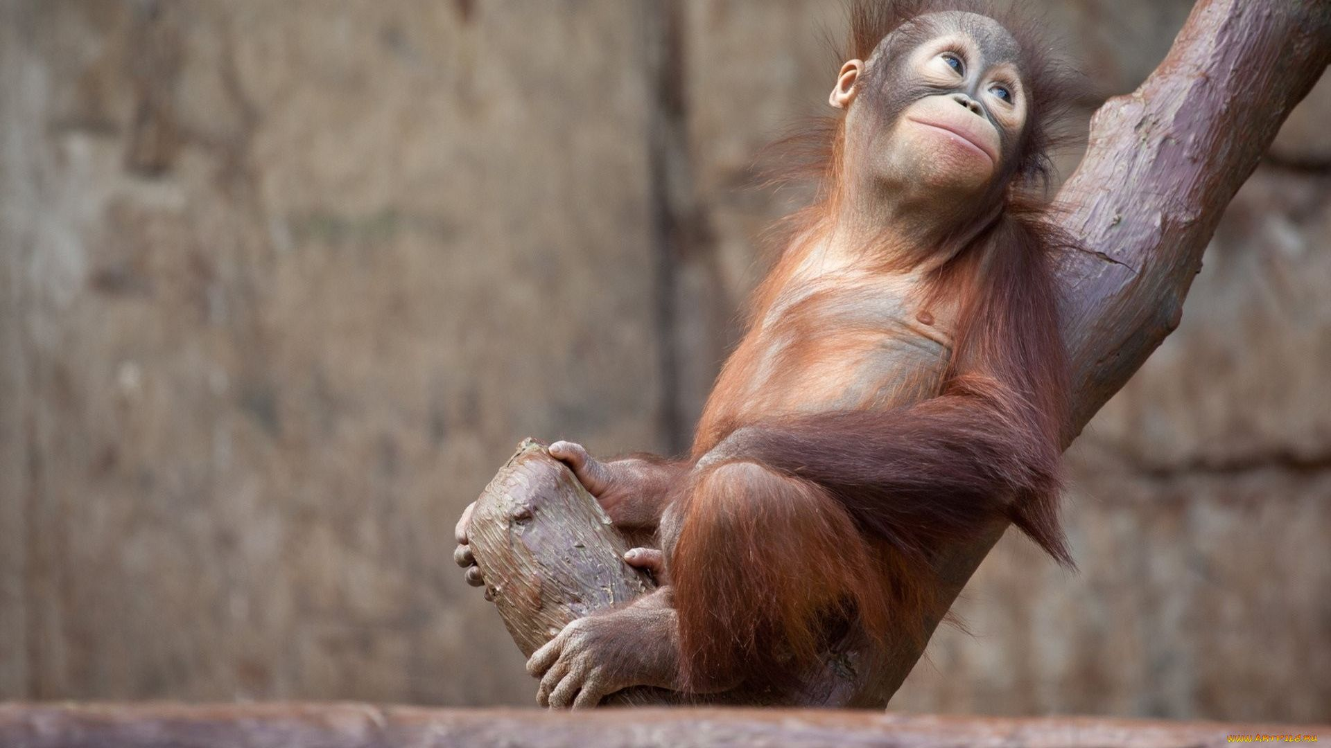 The Orangutan Is A Picture Of