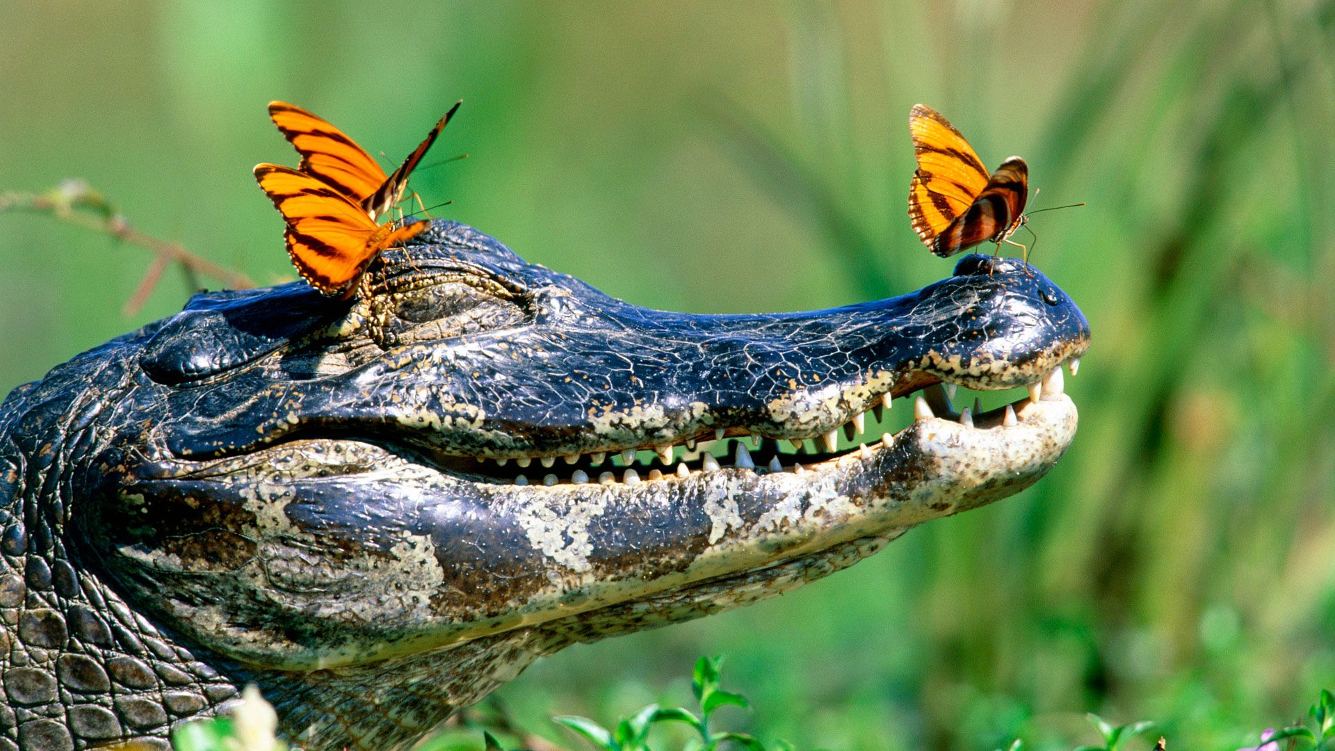 The Picture Crocodile Ulybka With Butterflies